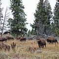 Yellowstone Buffalo by Jim Garrison