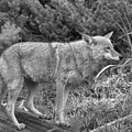 Yellowstone Coyote Black And White by Adam Jewell