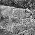 Yellowstone Coyote Scout Black And White by Adam Jewell