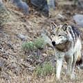 Yellowstone Grey Wolf by Daryl L Hunter