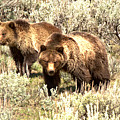 Yellowstone Grizzlies In The Sage Brush by Adam Jewell
