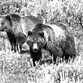 Yellowstone Grizzlies In The Sage Brush Black And White by Adam Jewell