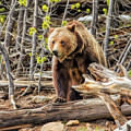 Yellowstone National Park Grizzly Bear by Christopher Arndt