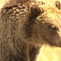 Yellowstone Grizzly Sow Closeup by Adam Jewell