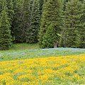 Yellowstone Meadow by Wendy Fox