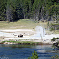 Yellowstone Park Bison In August by Thomas Woolworth