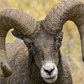 Yellowstone Ram by Wes and Dotty Weber