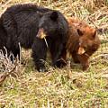 Yellowstone Spring 2018 Black Bears by Adam Jewell