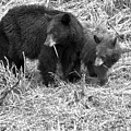 Yellowstone Spring 2018 Black Bears Black And White by Adam Jewell