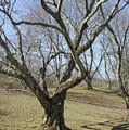 Yellowwood Tree In Winter by Adam Gladstone