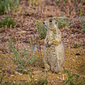 Yes A Prairie Dog by Ronald Lutz