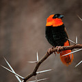 Yikes Spikes - Red Bishop Weaver Bird by Mitch Spence