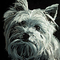 Yorkie by Portraits By NC