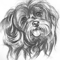 Yorkiepoo by Barbara Keith
