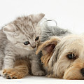 Yorkshire Terrier And Tabby Kitten by Mark Taylor