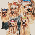 Yorkshire Terrier by Barbara Keith