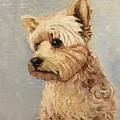 Yorkshire Terrier by Boni Arendt