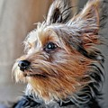Yorkshire Terrier Dog Pose #2 by John Myers