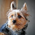Yorkshire Terrier Dog Pose #3 by John Myers