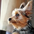 Yorkshire Terrier Dog Pose #5 by John Myers