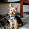 Yorkshire Terrier Dog Pose #6 by John Myers