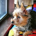 Yorkshire Terrier Dog Pose #8 by John Myers