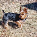 Yorkshire Terrier Dog Pose #9 by John Myers