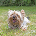 Yorkshire Terrier Is Smiling At The Camera by Jaroslav Frank