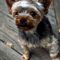 Yorkshire Terrier Puppy by Sally Weigand