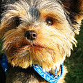Yorkshire Terrier by Queso Espinosa