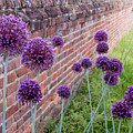 Yorktown Onions Along The Wall by Nancy Comley
