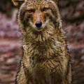 Yosemite Coyote by Blake Richards