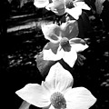 Yosemite Dogwoods Black And White by Joyce Dickens