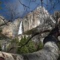 Yosemite Falls Tree by Norman Andrus