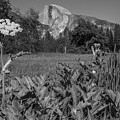 Yosemite Queens Ann Lace Black And White  by John McGraw