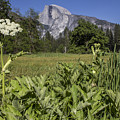 Yosemite Queens Ann Lace by John McGraw