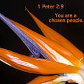You Are A Chosen People. 1 Peter 2-9 by Michele Penn