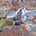 You Go First - Male And Female Mallard Ducks by Kerri Farley