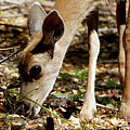 Young Female Deer Foraging by Sue Harper