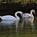 Young And Older Swans by Jeremy Hayden