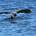Young Bald Eagle I by Randall Ingalls