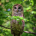 Young Barred Owl In Acadia by Rick Berk