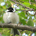 Young Black-capped Chickadee by Angie Rea