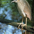 Young Black Crowned Night Heron by Suzanne Gaff