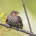 Young Blackbird by Sue Matsunaga