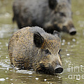 Young Boars In Mud Puddle by David & Micha Sheldon