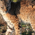 Young Bobcat 01 by Wingsdomain Art and Photography