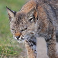 Young Bobcat 03 by Wingsdomain Art and Photography