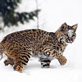 Young Bobcat Playing In Snow by Melody Watson
