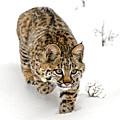 Young Bobcat Stalking by Melody Watson